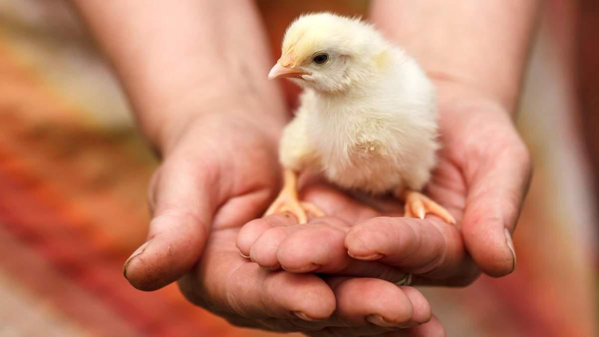 Гормоны роста и условия содержания: секреты производства качественной и безопасной курятины