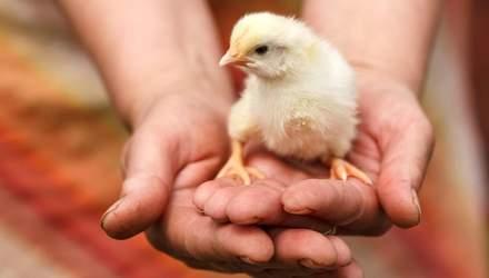 Гормони росту та умови утримання птиці: секрети виробництва якісної та безпечної курятини